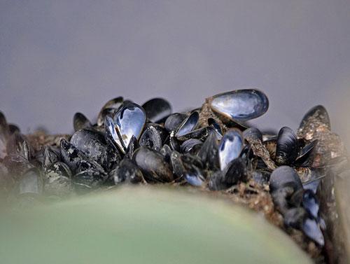 mussels-mtsofan