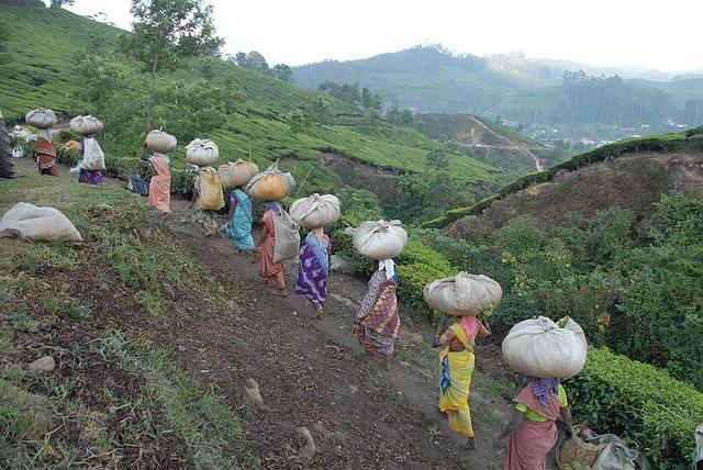 tea-pickers